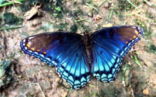 red spotted purple butterfly on the ground